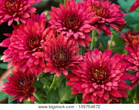 Red Chrysanthemum Daisy Close-up Shot