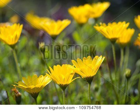 Yellow African Daisies Osteospermum