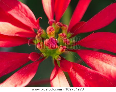 Red Poinsettia Close-up