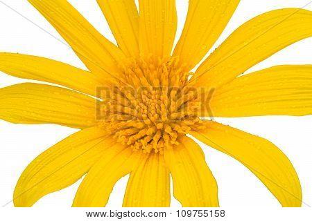 Japanese Sunflower (buatong) On Isolated Background