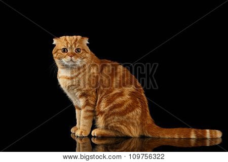 Ginger Scottish Fold Cat Sits And Looking In Camera Isolated On Black