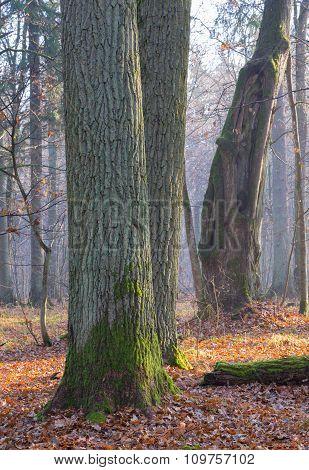 Monumental Oak Trees Of Bialowieza Forest