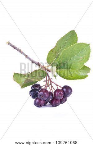 Black Chokeberry Aronia Or Black Rowan