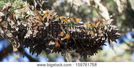 Cluster of Monarch Butterflies (Danaus plexippus). Monarch Grove Sanctuary, Pacific Grove, CA
