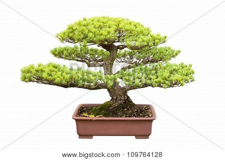 Bonsai Tree Of Five Needle Pine