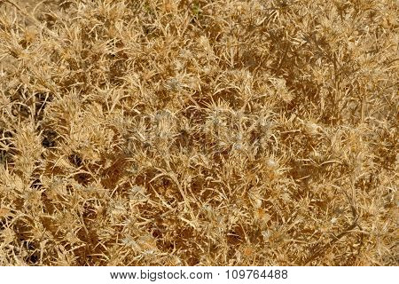 Close-up Of Dried Picnomon Acarna Plant As Background.