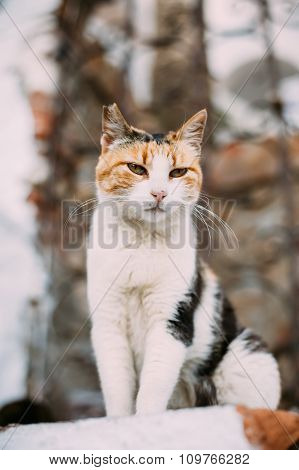 Mixed Breed White and Red Cat Outdoor