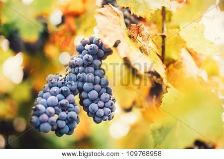 Red Ripe Grapes In Valley Wineyard, Agriculture Harvest On Late Autumn