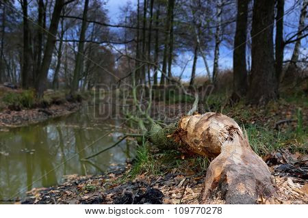 Tree Felled By Beavers On The River