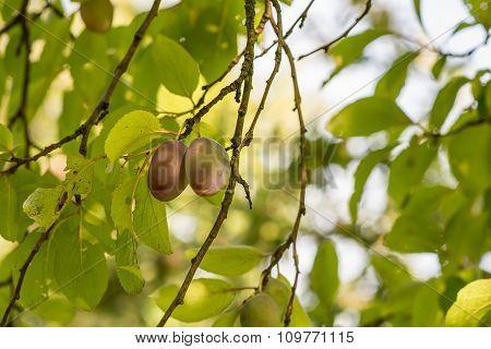 Plums on the plum tree