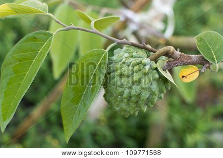 Suggar Apple tree, tropical fruit in Taiwan.