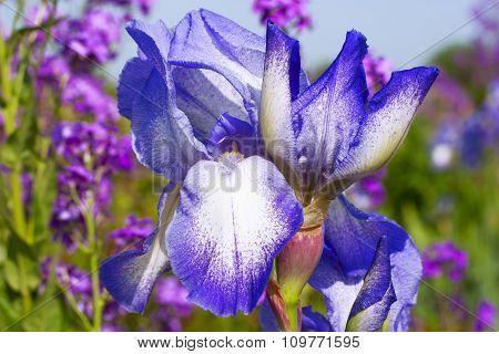 Graceful Blue Iris Flowers