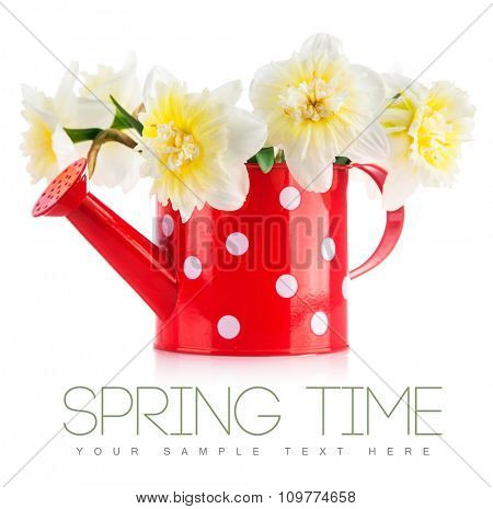 Spring flowers narcissus in red watering can. Isolated on white background