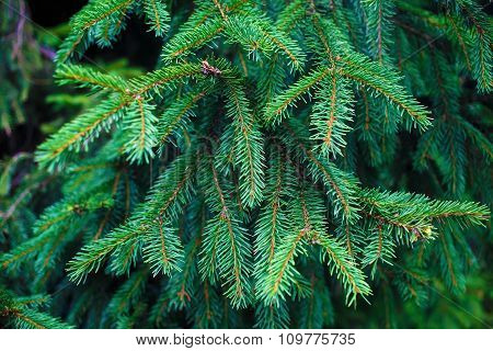 Fir-tree Branch Background