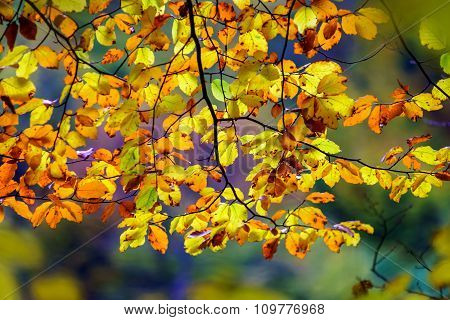 Golden Autumnal Trees In The Forest, Nature