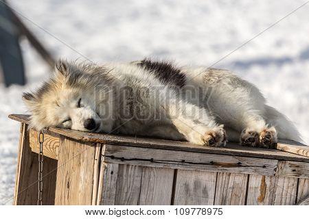 Greenlandic Sledding Dog, Sisimiut