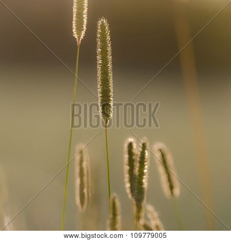 Timothy-Grass