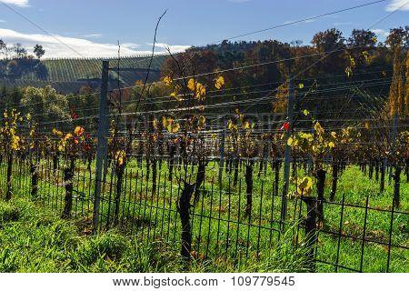 Autumn In Vineyard, Last Leaves On The Sun