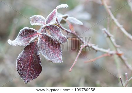 Rose Leaves In Hoarfrost