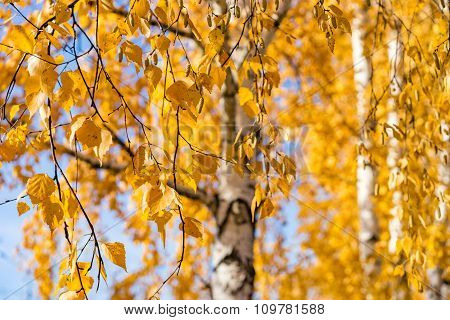 Birch Leaves At Autumn