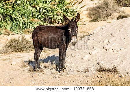 The domesticated donkey