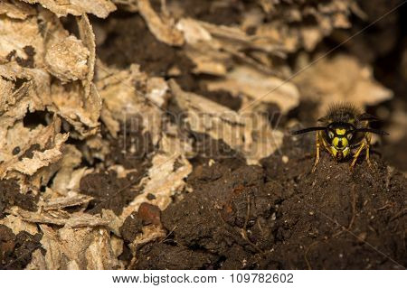Common wasp (Vespula vulgaris) on guard by disturbed underground nest