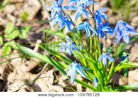 Scilla Flowers  (siberian Squill)