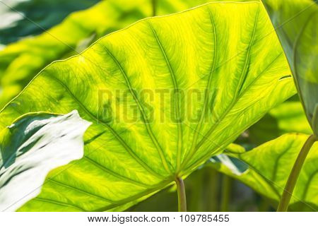 Taro Leaf In Garden
