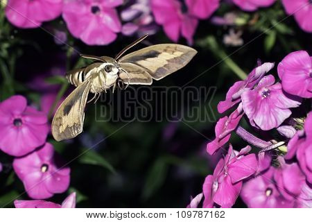 insect hawk moth hovering over the Phlox