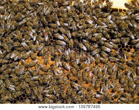 bee hive honeycomb frame