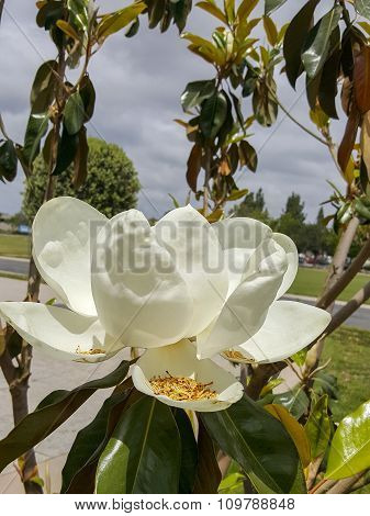 Blooming California Magnolia On A Cloudy Day