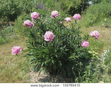Bush pink peony