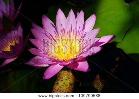 Pink lotus pollen yellow filaments solar energy