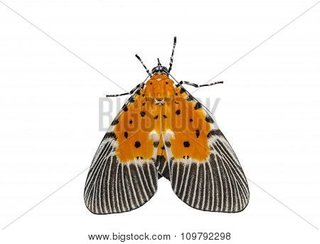 Isolated Male Of Broad-winged Tiger Moth