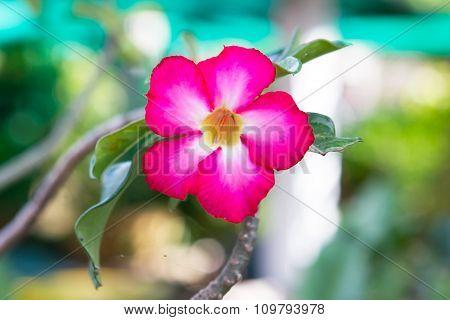 Romantic pink desert flower, impala lily flower.