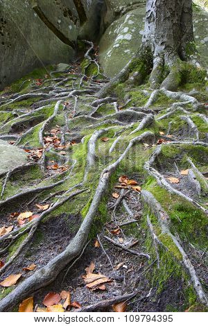 Beech Roots Among The Rocks And Moss