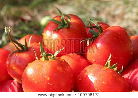 Heap Of Red Tomatoes