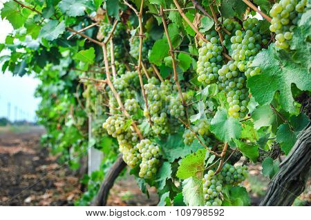 View of vineyard row with bunches of ripe white wine grapes at sunset. Selective focus.