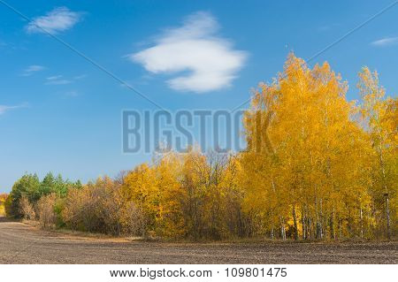 Landscape with a birch grove on an edge of agricultural field