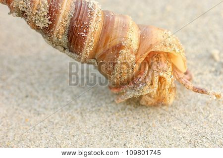Hermit Crab in a screw shell on wet sand of a tropical sea beach selective focus. India.