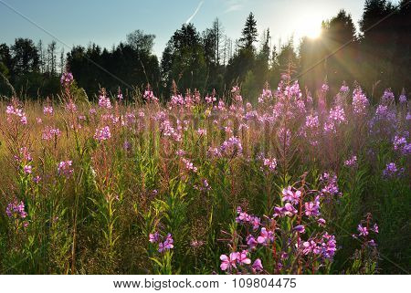 Meadow With Willow-herb Flowers Natural Landscape