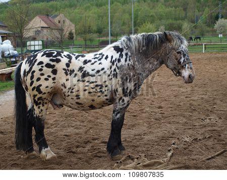 Mottled Horse In Corral