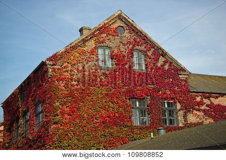 Red leaves of wild grapes on the windows of the house Raadvad Denmark