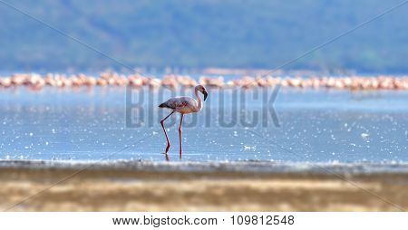 Flamingos On Lake. Kenya, Africa