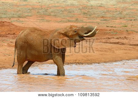 Elephant In Lake. National Park Of Kenya