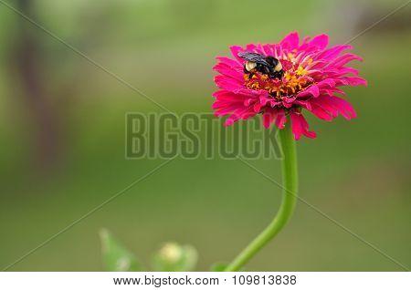 zinnia Bee