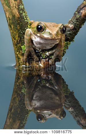 Peacock Tree Frog (Leptopelis vermiculatus)