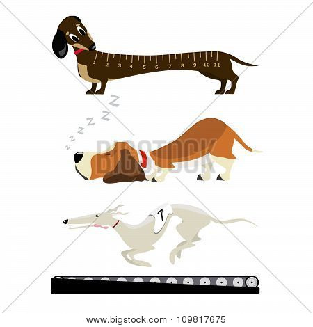Basset sweet dream, Amazed young dachshound, greyhound training by modern treadmill