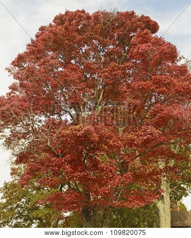 Red Maple In The Fall