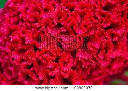 Red Cockscomb Of Closeup Background